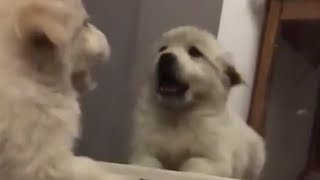 Adorable Golden Retriever puppy fights her mirror reflection