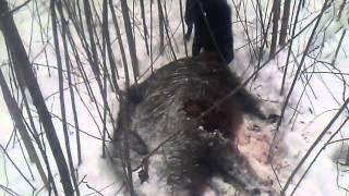 Охота с лайками на кабана с подхода