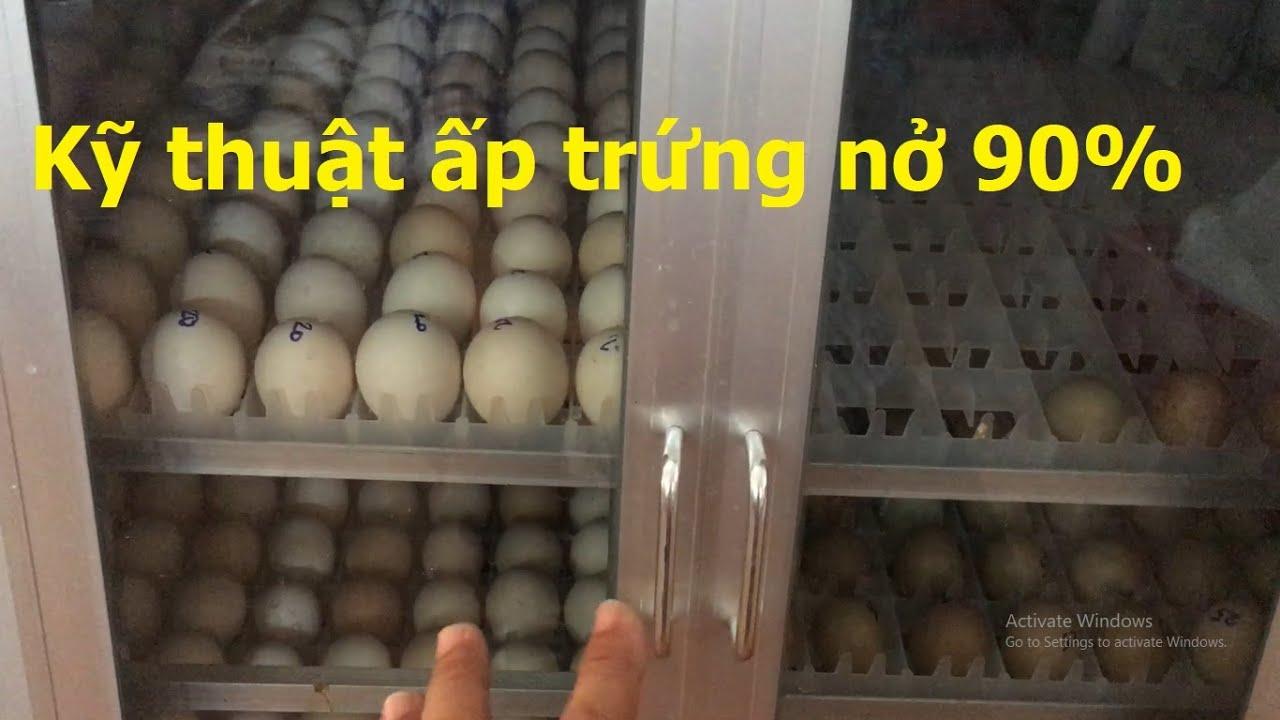 Cách ấp trứng gà trứng chim trĩ nở đạt 90%