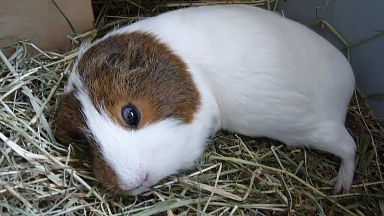 Sleeping Guinea Pigs Youtube