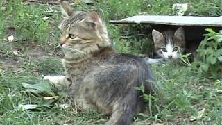 Воспитание котенка- котенок и мышь