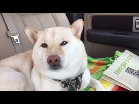 Singing dog Shibainu Shiro