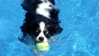 Cavalier King Charles Spaniel--water Dog!
