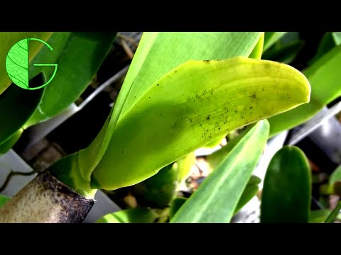 Cattleya Rex And Warscewiczii • Orchid Chat 14 July 2019 (Part 2)