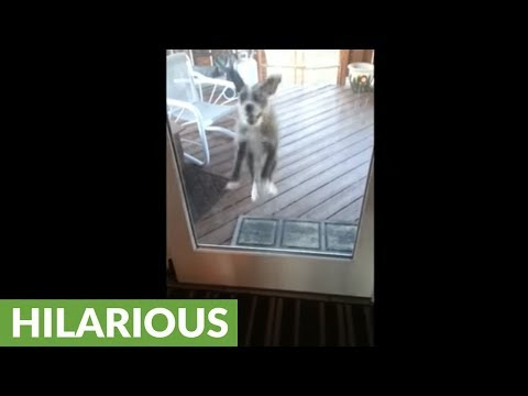 Jumping dog tries to catch ball through glass door