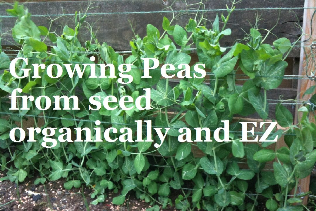 How to Grow Peas from Seed - Organic Vegetable Gardening ...