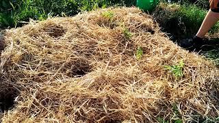 Cultivarea rosiilor in paie.  Agricultura de permacultura