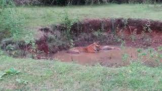 Tiger spotted with his kill- Bandipur Prince!!