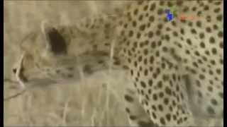 3匹の母チーターいつライオンやハイエナが現れるか 注意をはらって草原...