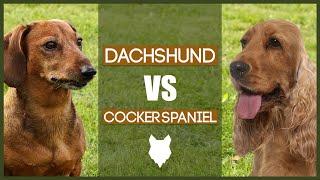 DACHSHUND VS COCKER SPANIEL