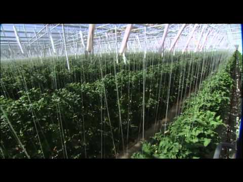 the-future-of-farming:-hydroponic-tomatoes