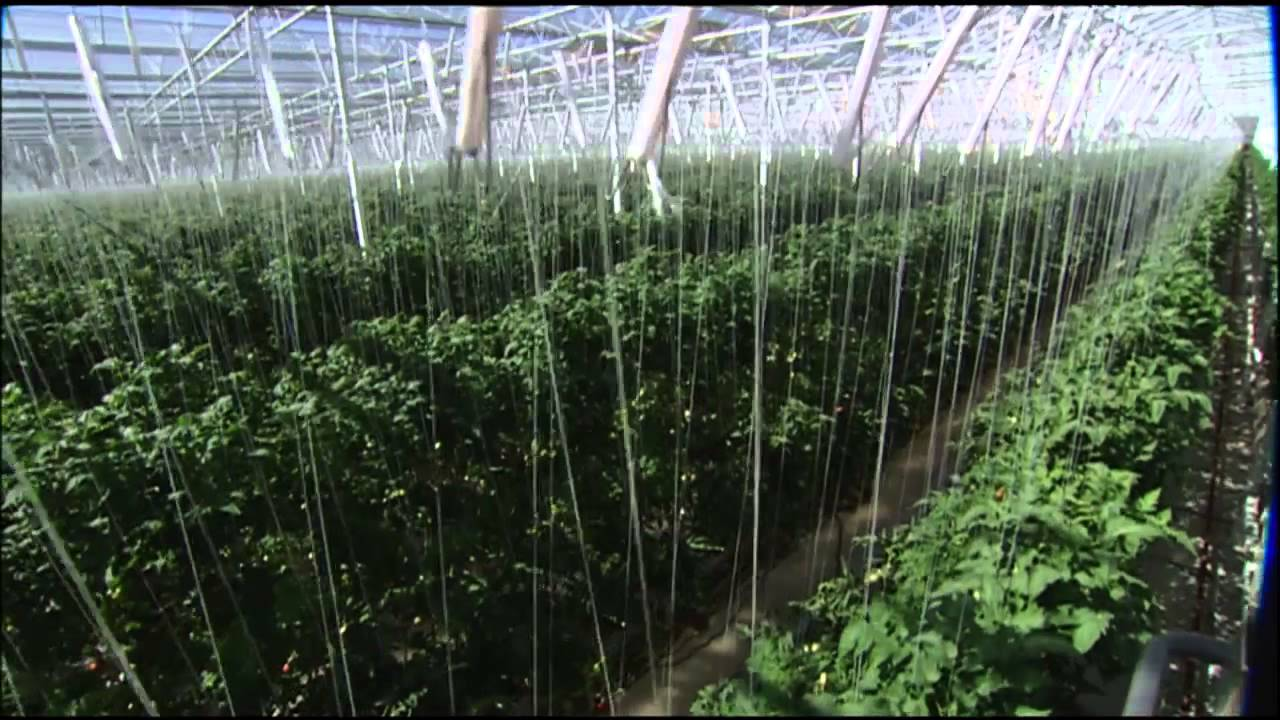 The Future Of Farming Hydroponic Tomatoes