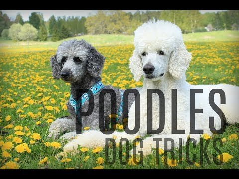 Poodle party || amazing dog tricks
