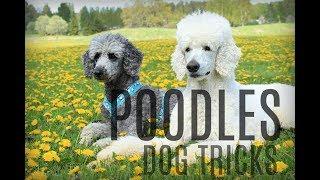 Poodle party || amazing dog tricks
