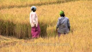 Women cutting mature paddy in Karnataka before harvest!