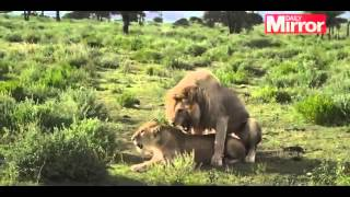 Брачные игры львов. Two Lions Loudly Mating In The Background Of Live Wildlife Show!!!