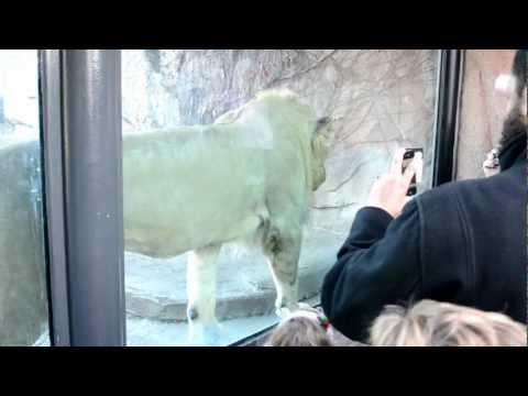 Lion is trying to attack kids in Lincoln Park Zoo in Chicago