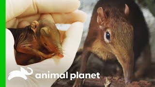 Zookeepers Hope For The Birth of a Healthy Baby Elephant Shrew | The Zoo
