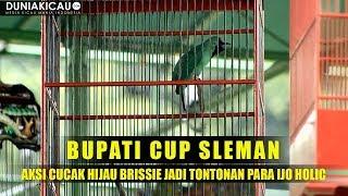 Download Video BUPATI CUP SLEMAN : Aksi Cucak Hijau BRISSIE Jadi Tontonan Para IJO HOLIC MP3 3GP MP4