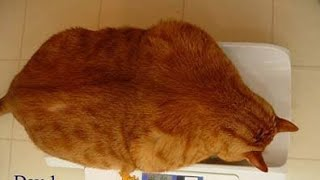Overweight cat sent to 'fat camp' after obsession with food caused her to gain excessive amount of w