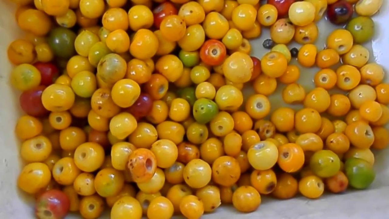 Image result for nanchi fruit