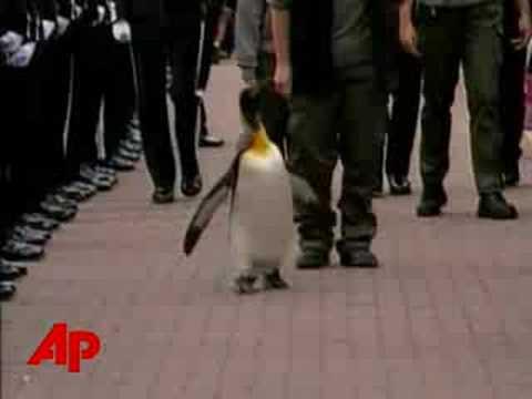 Raw Video: Penguin Receives Norwegian Knighthood