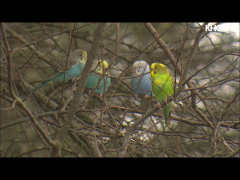 Raw Video: Parakeets Line Tree Limbs At West Houston Park After Being Dumped By Pet Store