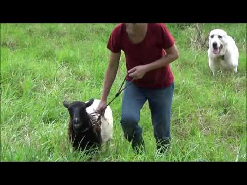 Our Central Asian Shepherd (Alabai) Dog helps with collecting sheep that escaped to the bush