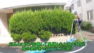 カイズカイブキ 庭木のお手入れ 剪定 pruning  NO.158