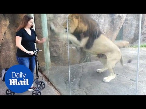 Moment Adorable Lion Reacts To Meeting Woman On A Scooter - Daily Mail
