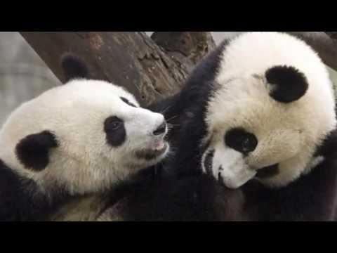 oso panda  panda bear
