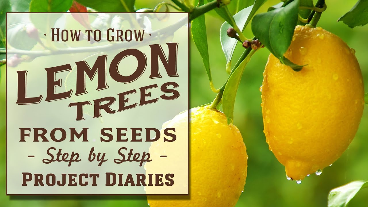 Grow Lemon Pictures