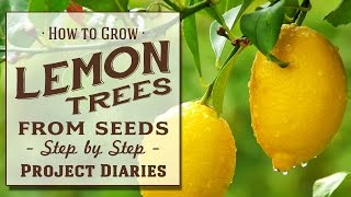 ★ How to: Grow Lemon Trees from Seeds (Step by Step Guide)