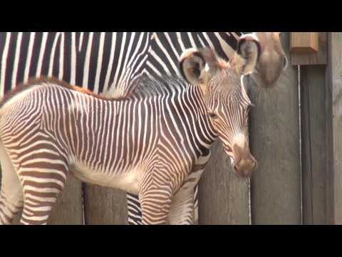 Baby Zebra Stands on New Legs at Chicago
