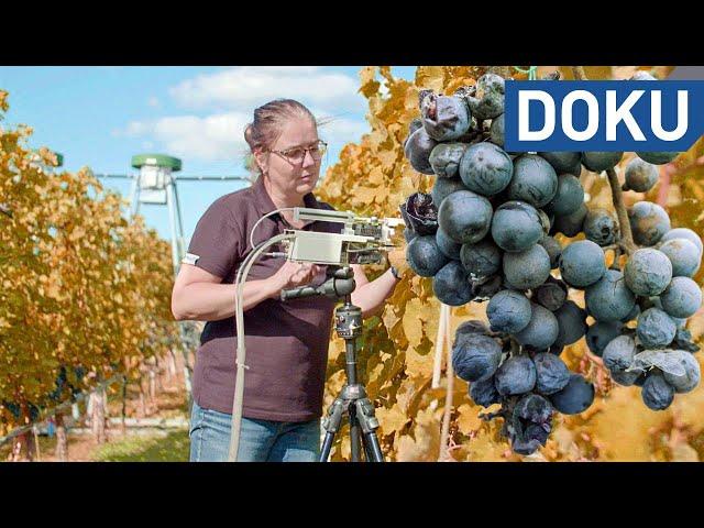 Weinbau im Klimawandel   hessenreporter