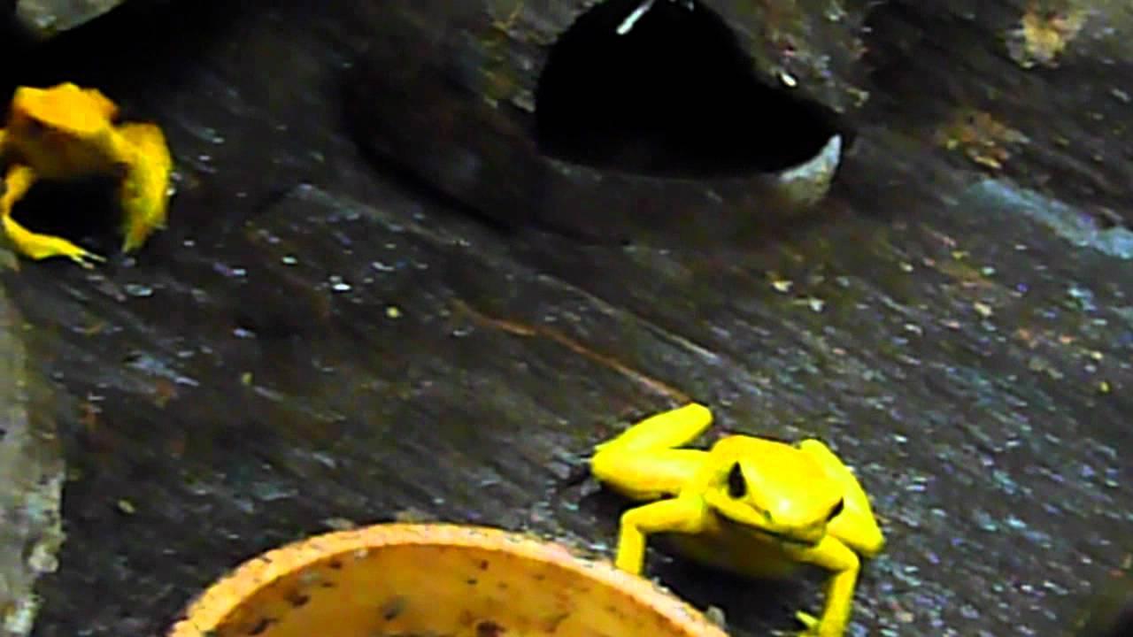 golden poison dart frog feeding youtube