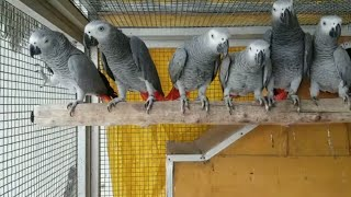 Exotic birds and animals and parrots  for sale at chennai /best quality African grey ,Sun conure,