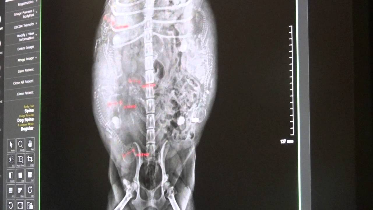 whelping puppies pictures of pregnant dam x rays raising
