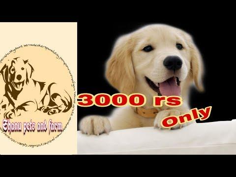 Golden retriever at 3000rs   pure breed   dogì helpline   #Golden_retriever
