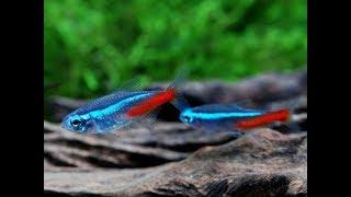 NEON INNESA / Paracheirodon innesi. Atlas ryb akwariowych. Poradnik dla początkujących akwarystów.