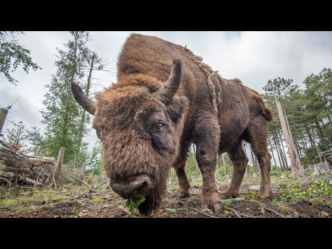 Wild bison to be reintroduced to Britain after 15,000 years