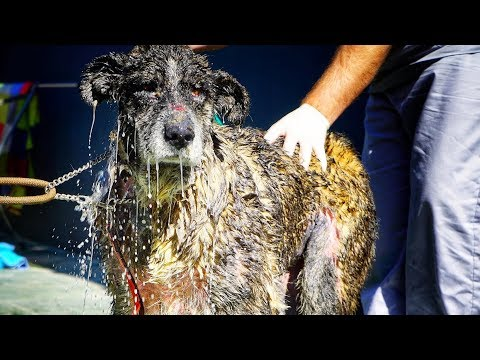 ABUSED DOG GETS A BATH FOR THE FIRST TIME IN HER LIFE !