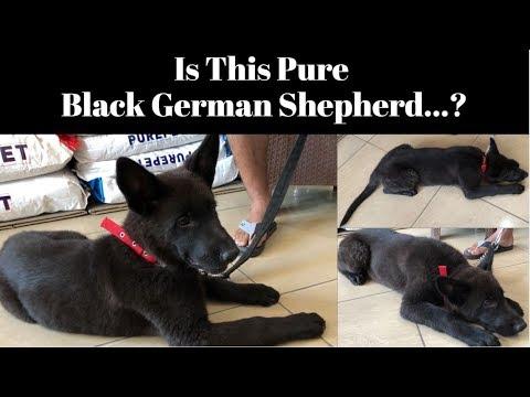 is-this-pure-black-german-shepherd...?