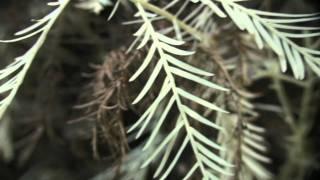 葉緑素がないのに生きている?自然の法則に逆らう謎の白い植物「アルビノ・レッドウッド」