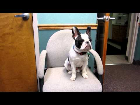 Talking French Bulldog Puppy