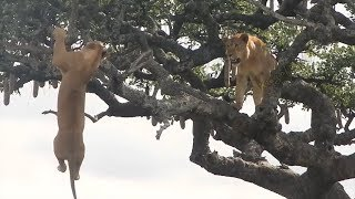 What Will Happen if The Lion King Climbs The Tree?