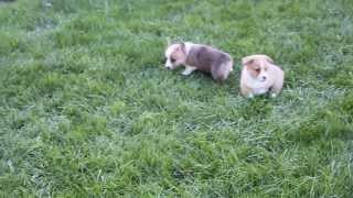 Welsh Corgi Puppies - Www.greenfieldpuppies.com