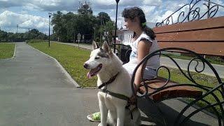 ЕЗДОВАЯ собака ХАСКИ Белый