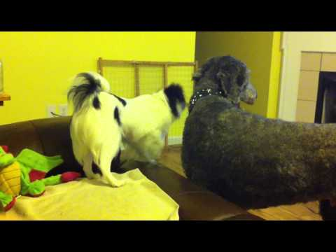 Poodle and Chin wrestle
