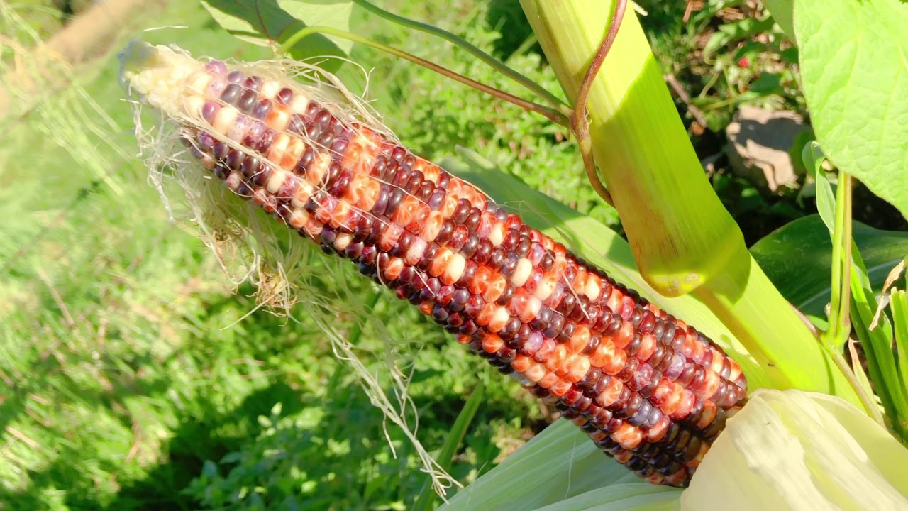 Anasazi Corn Harvest Special - Gardening for the New Earth 8 February 2021